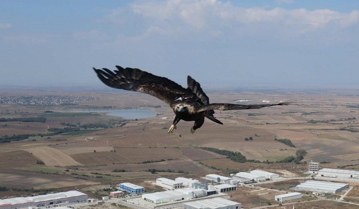 Tekirdağ'da drone gören kartal  #3