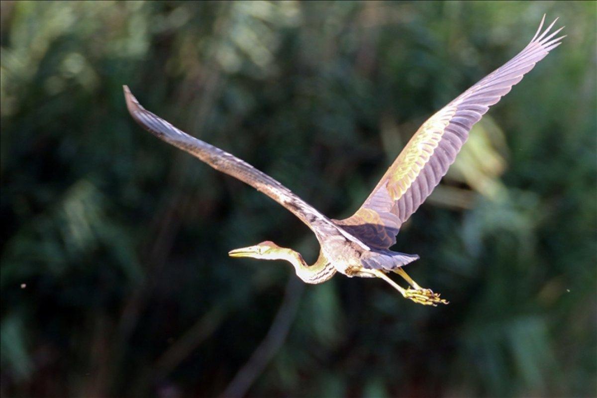 Ağrı Dağı Milli Parkı, ender kuşlardan erguvani balıkçılı ağırladı #3