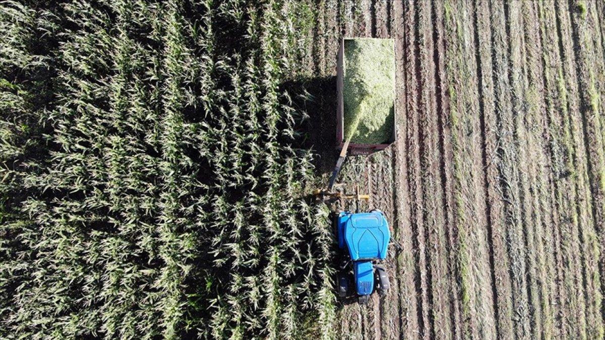 Ağrı da devlet destekli silajlık mısırın hasadına başlandı #5