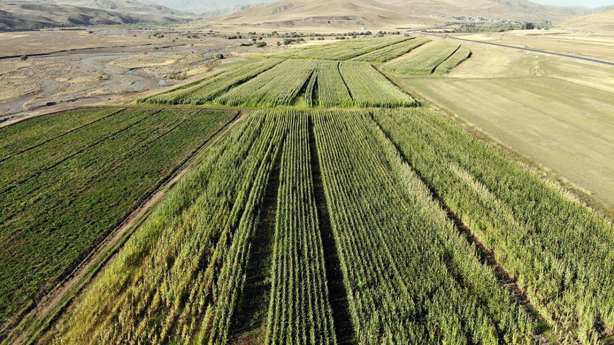 Ağrı da devlet destekli silajlık mısırın hasadına başlandı #2