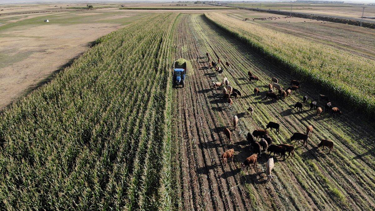 Ağrı da devlet destekli silajlık mısırın hasadına başlandı #3