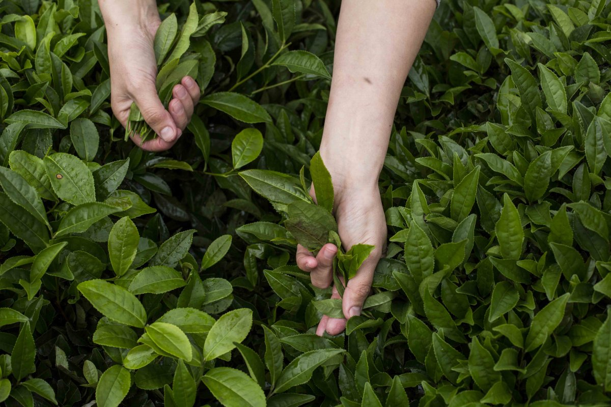 Türkiye den 8 ayda 11.9 milyon dolarlık çay ihraç edildi #1