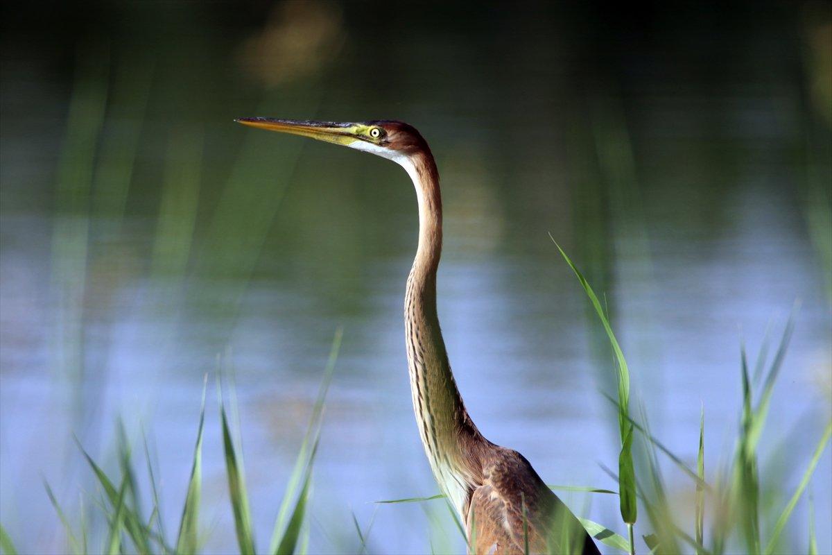 Ağrı Dağı Milli Parkı, ender kuşlardan erguvani balıkçılı ağırladı #2