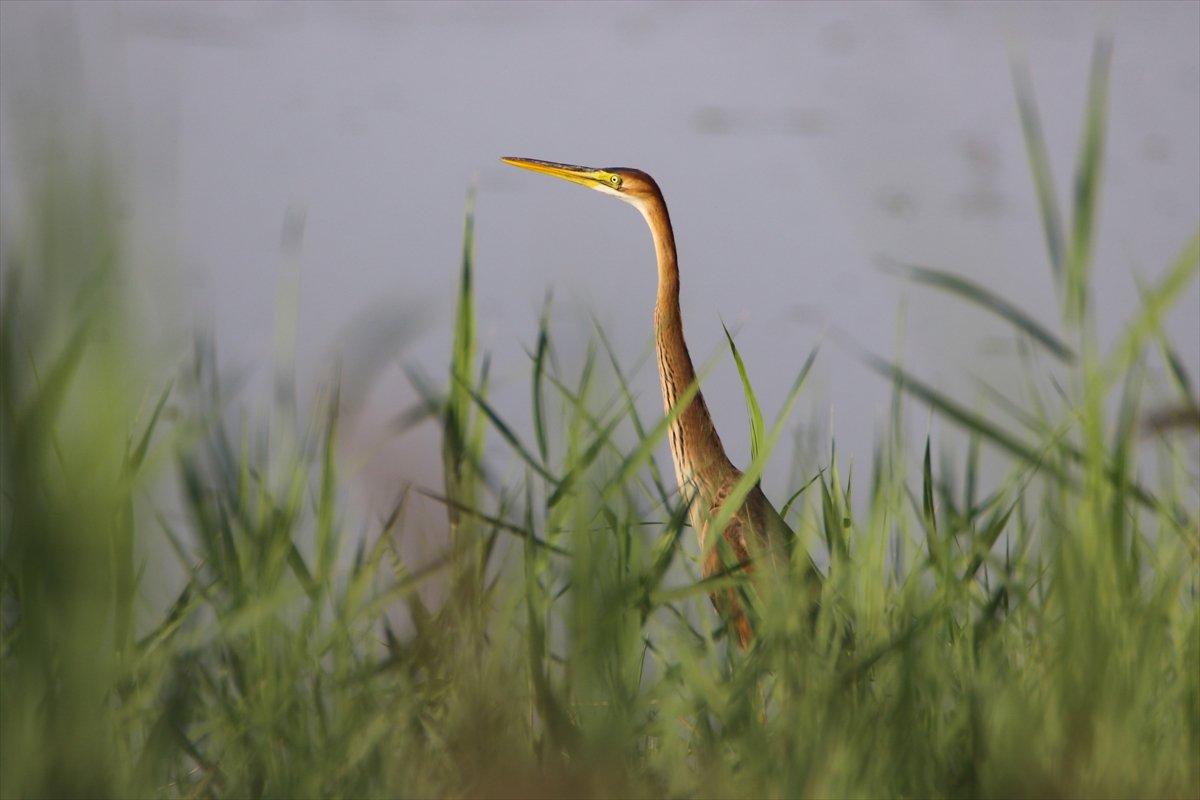 Ağrı Dağı Milli Parkı, ender kuşlardan erguvani balıkçılı ağırladı #1