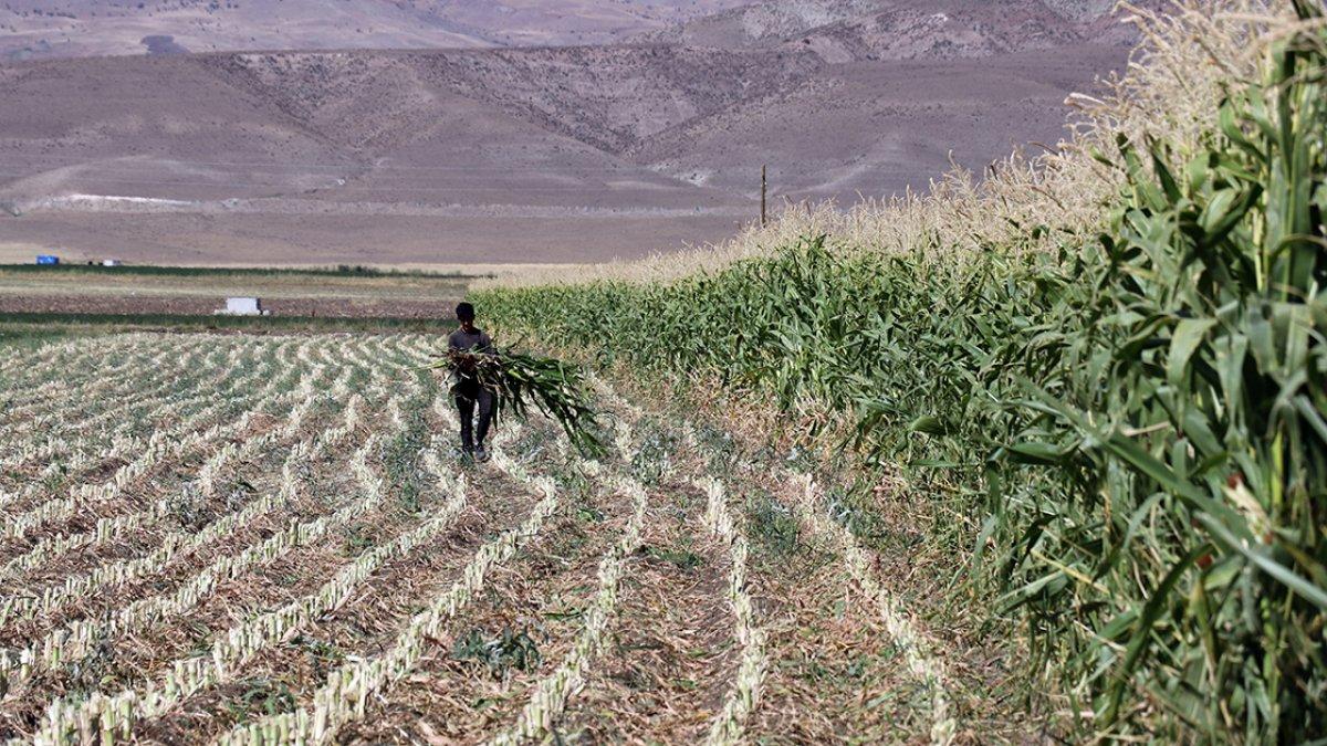 Ağrı da devlet destekli silajlık mısırın hasadına başlandı #1