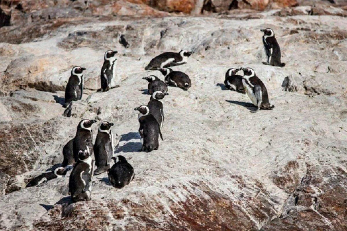 Güney Afrika da 63 penguen arı saldırısına uğradı #1