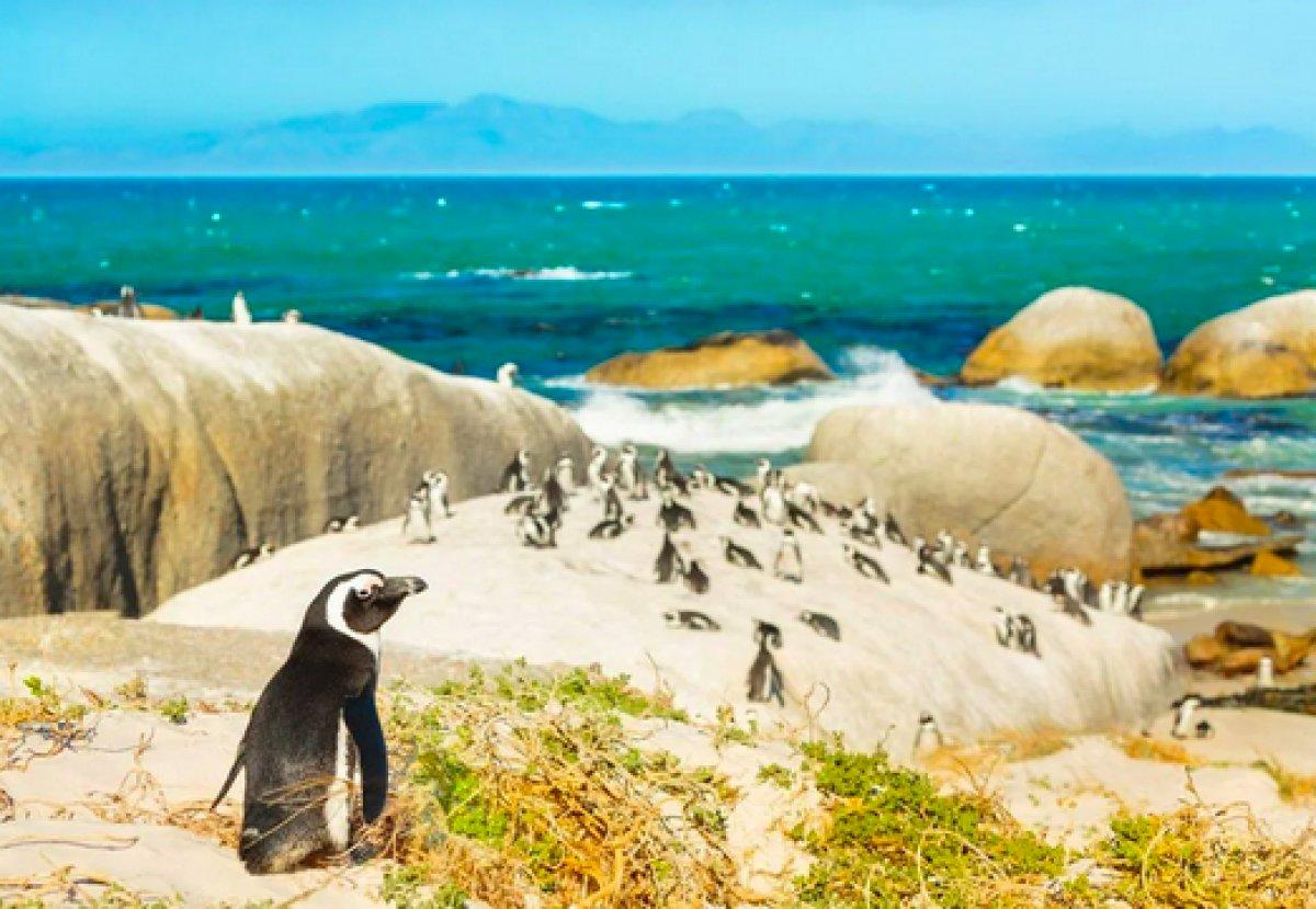 Güney Afrika da 63 penguen arı saldırısına uğradı #6