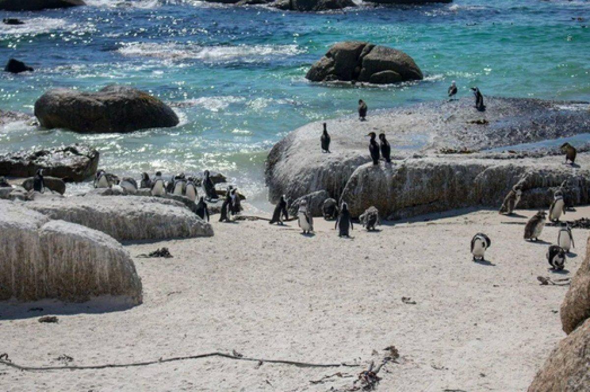 Güney Afrika da 63 penguen arı saldırısına uğradı #5