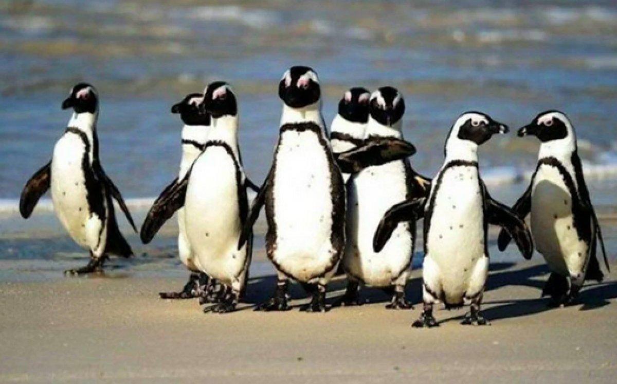 Güney Afrika da 63 penguen arı saldırısına uğradı #3