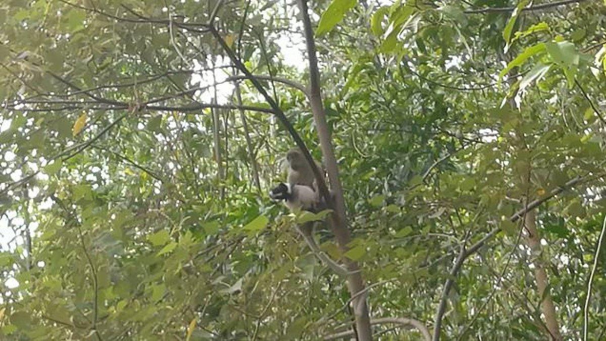 Malezya da yavru köpek, maymun tarafından rehin alındı #2