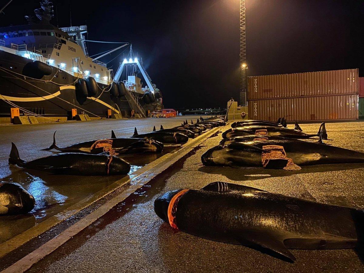Danimarka'da, Grindadrap Festivali'nde yunus ve balina katliamı #1