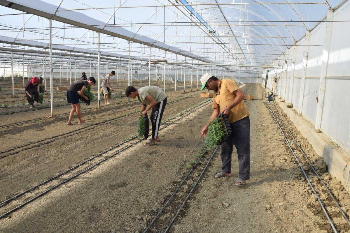 Antalya'nın Aksu ilçesinde seralarda kışlık domates ve biber ekimi başladı #5