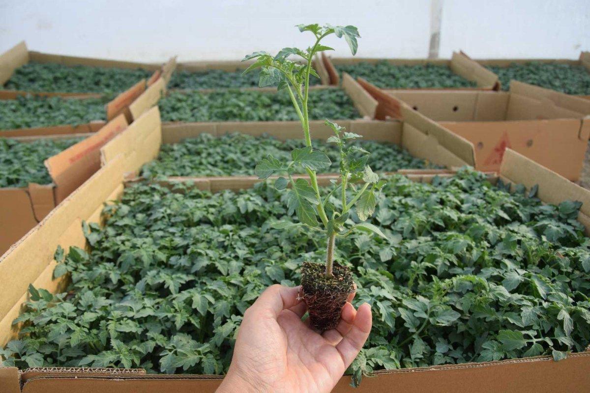 Antalya'nın Aksu ilçesinde seralarda kışlık domates ve biber ekimi başladı #1