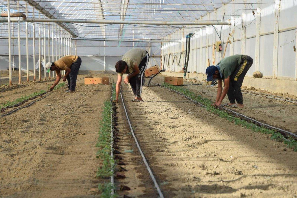 Antalya'nın Aksu ilçesinde seralarda kışlık domates ve biber ekimi başladı #2