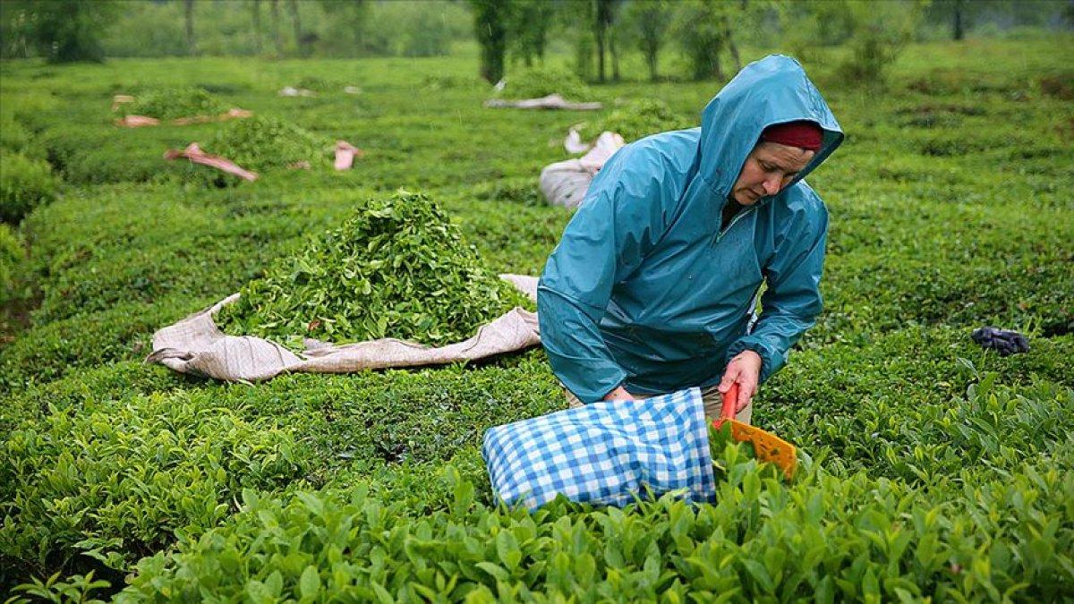 Çay bahçelerinin budanması projesi 7 yıl uzatıldı #1