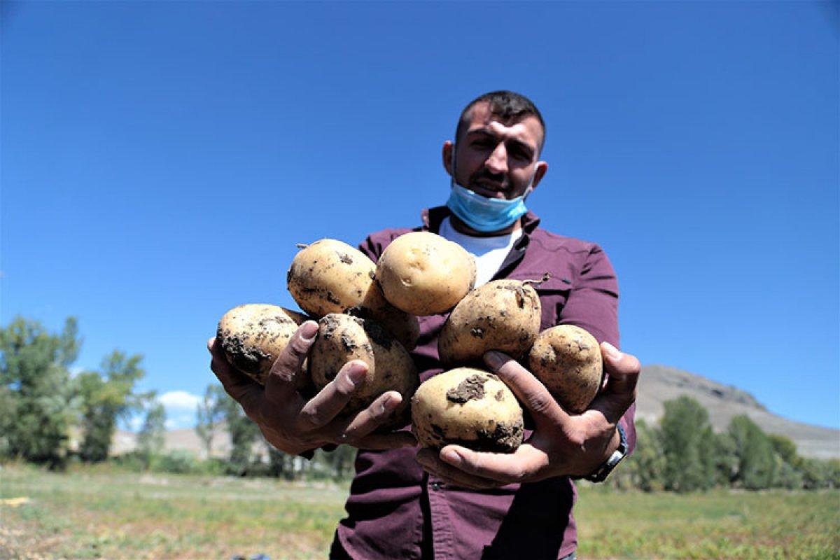 Pasinler Ovası nda patateste kuraklığa rağmen rekolte arttı #3