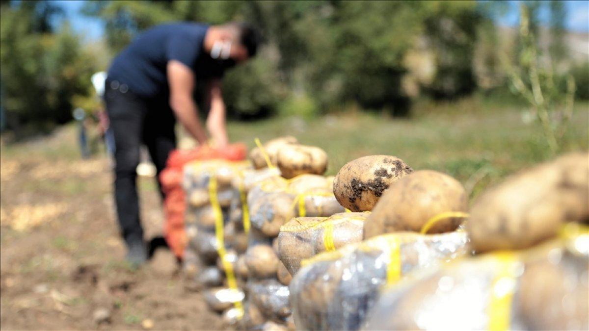 Pasinler Ovası nda patateste kuraklığa rağmen rekolte arttı #1