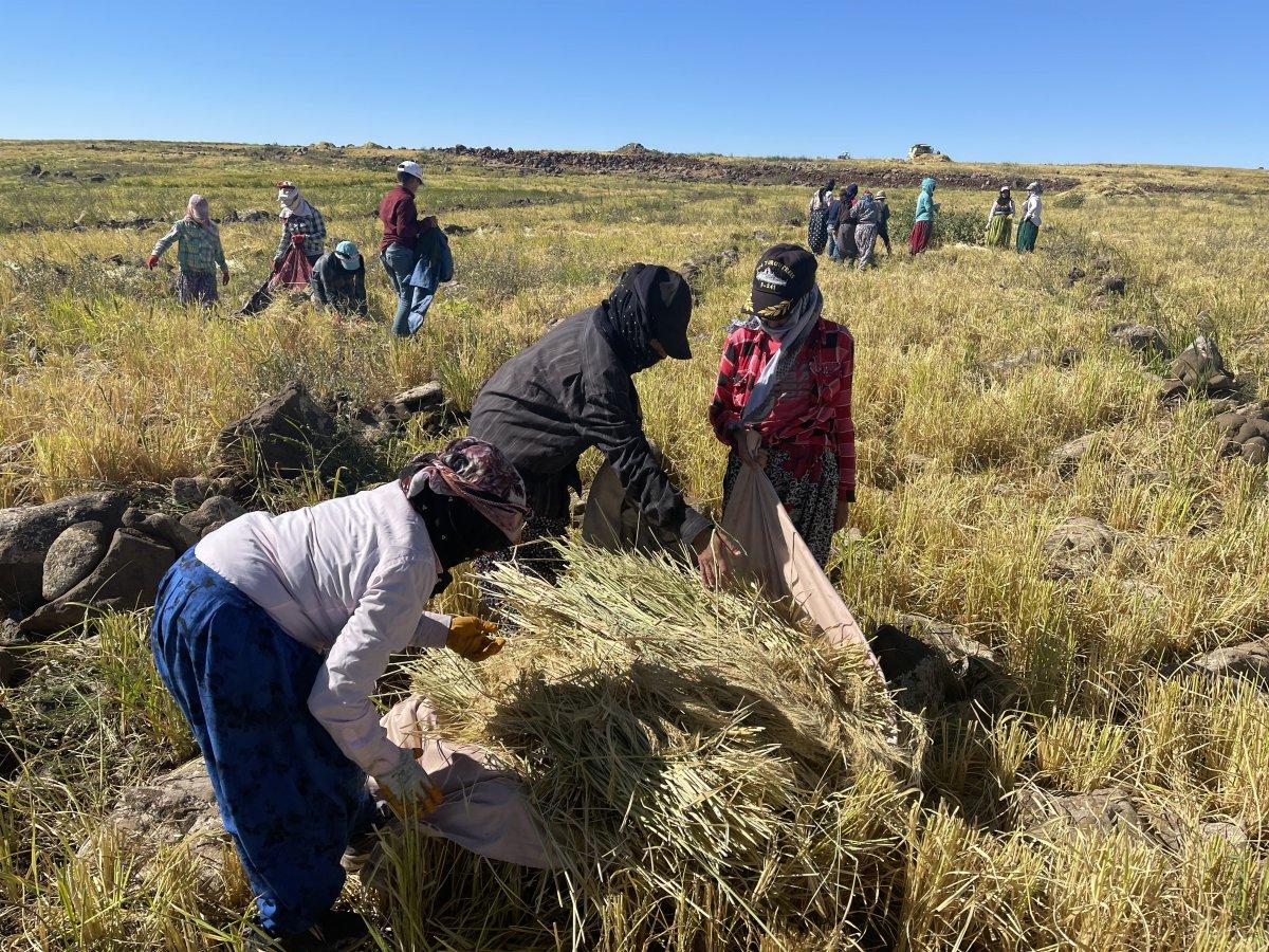 Şanlıurfa'da Karacadağ pirincinin zorlu hasadı #5