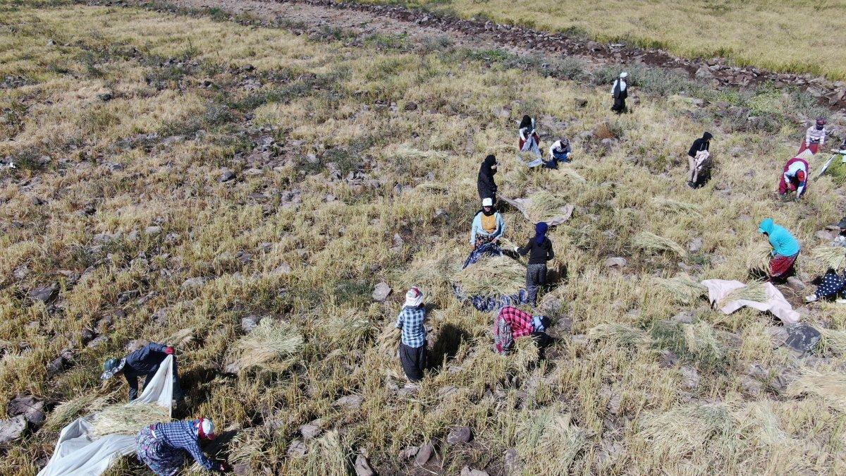 Şanlıurfa'da Karacadağ pirincinin zorlu hasadı #2
