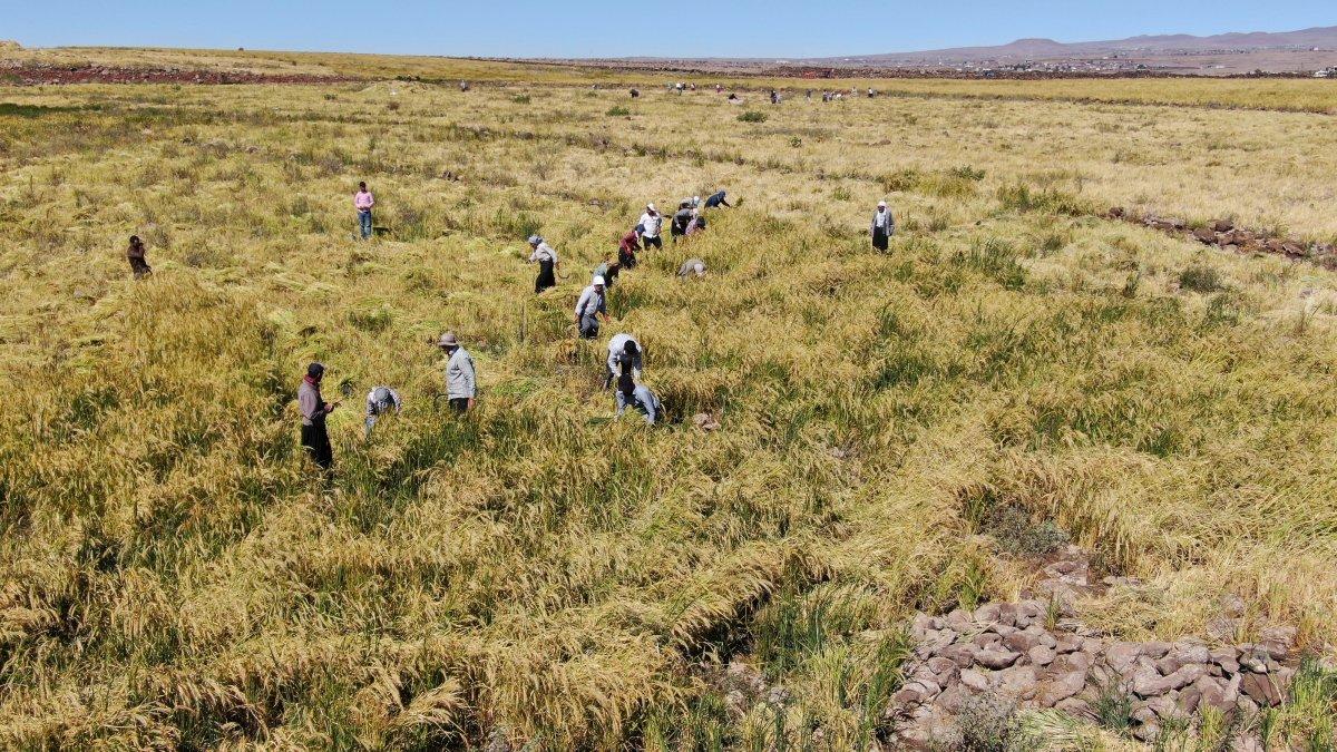 Şanlıurfa'da Karacadağ pirincinin zorlu hasadı #1