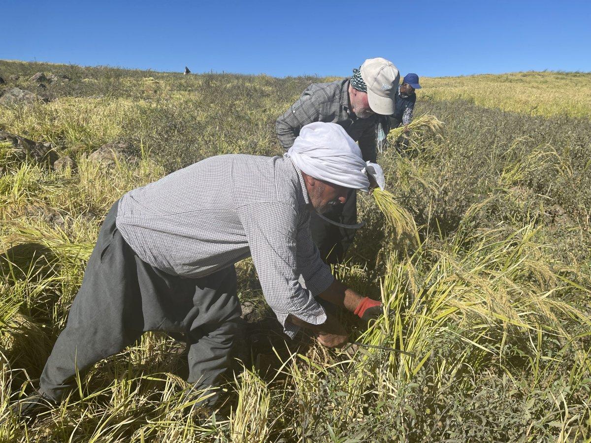 Şanlıurfa'da Karacadağ pirincinin zorlu hasadı #7