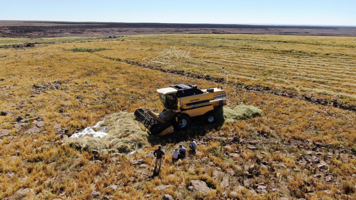 Şanlıurfa'da Karacadağ pirincinin zorlu hasadı #3