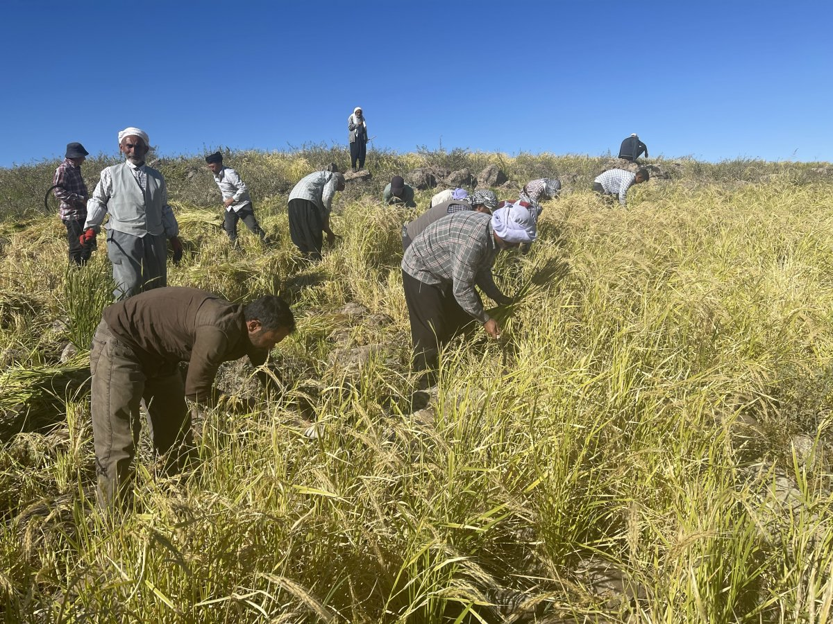 Şanlıurfa'da Karacadağ pirincinin zorlu hasadı #9