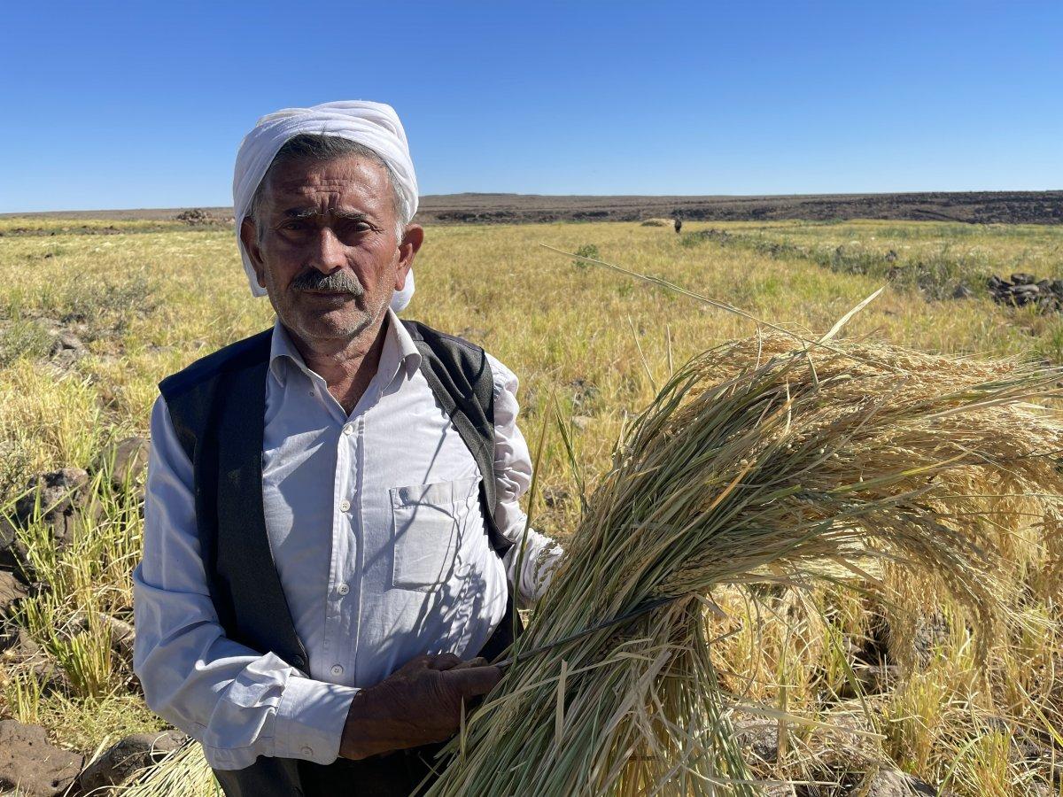 Şanlıurfa'da Karacadağ pirincinin zorlu hasadı #8