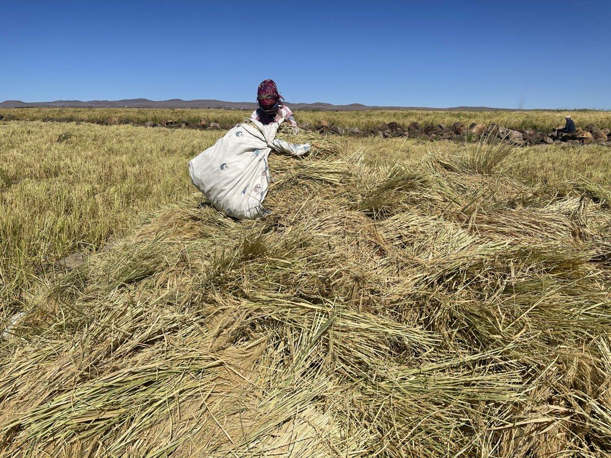 Şanlıurfa'da Karacadağ pirincinin zorlu hasadı #4