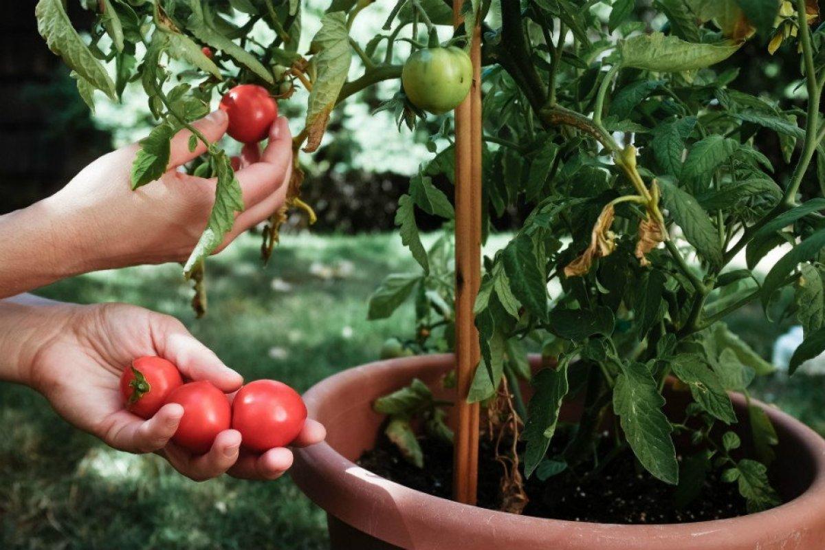 Çürüyen domatesleri sakın çöpe atmayın! Konserve, salça, maske, fide… #3