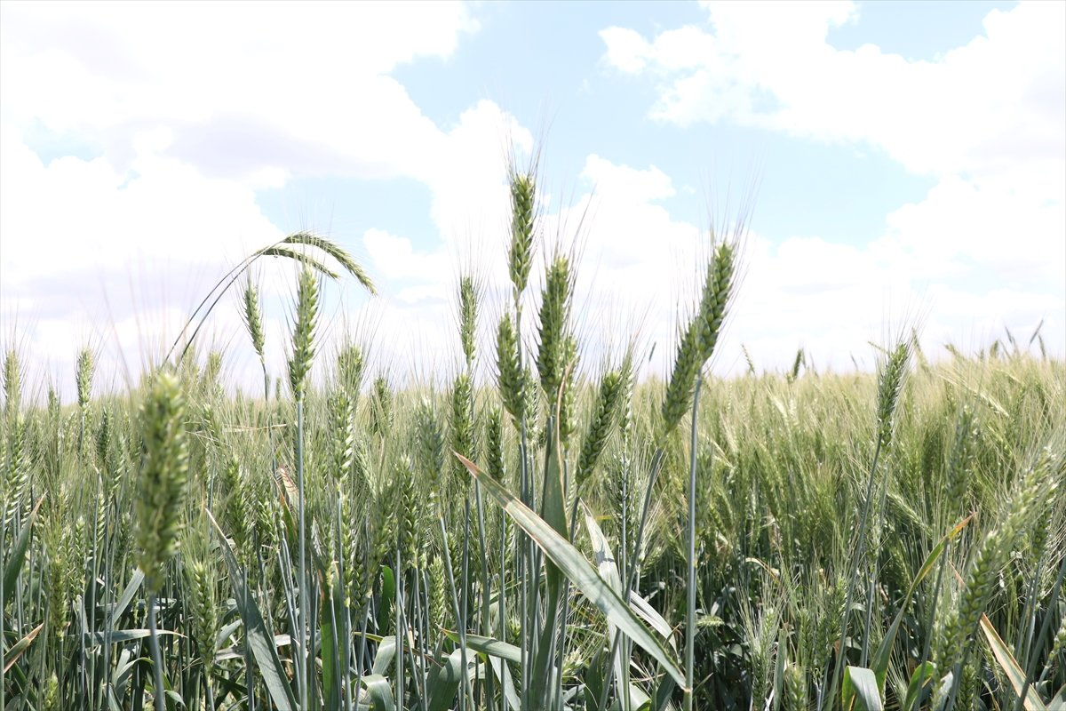 Tahıl ürünlerinde biyoçeşitlilik hedefleniyor #1
