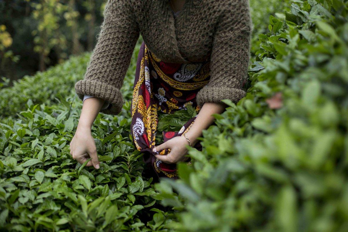 Doğu Karadeniz de yaş çay alım kampanyası 15 Ekim de sona eriyor #1