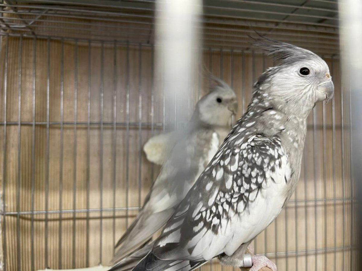 Güngören de canlı hayvan kaçakçılarına baskın: 45 papağan kurtarıldı #3