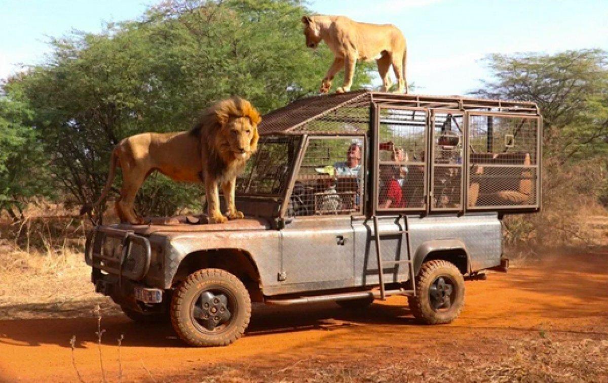 Senegal de açık alandaki aslanları yakından görebilmek için kafese giriyorlar #1