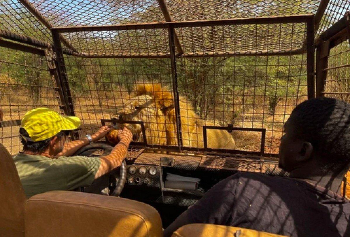 Senegal de açık alandaki aslanları yakından görebilmek için kafese giriyorlar #12