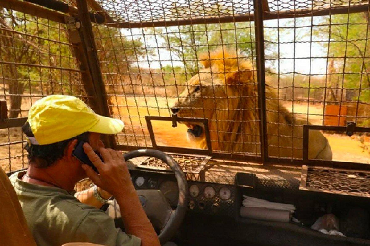 Senegal de açık alandaki aslanları yakından görebilmek için kafese giriyorlar #11