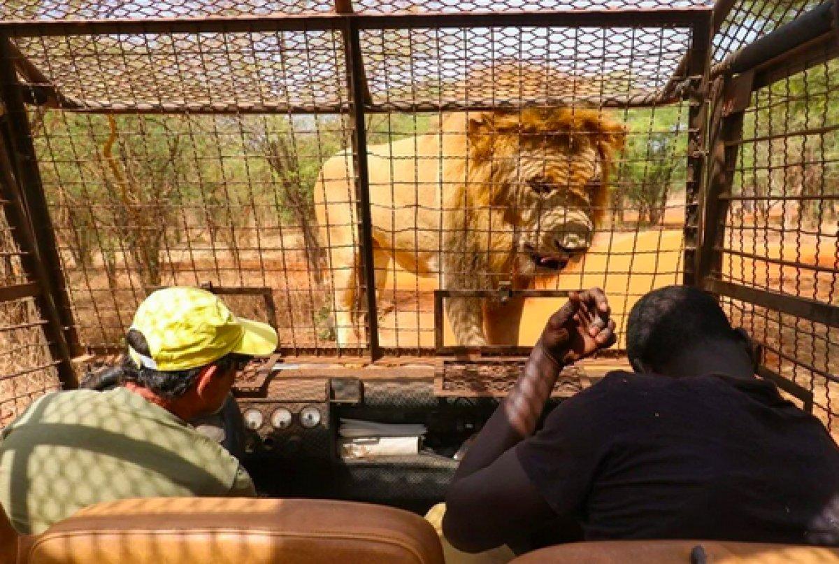 Senegal de açık alandaki aslanları yakından görebilmek için kafese giriyorlar #2