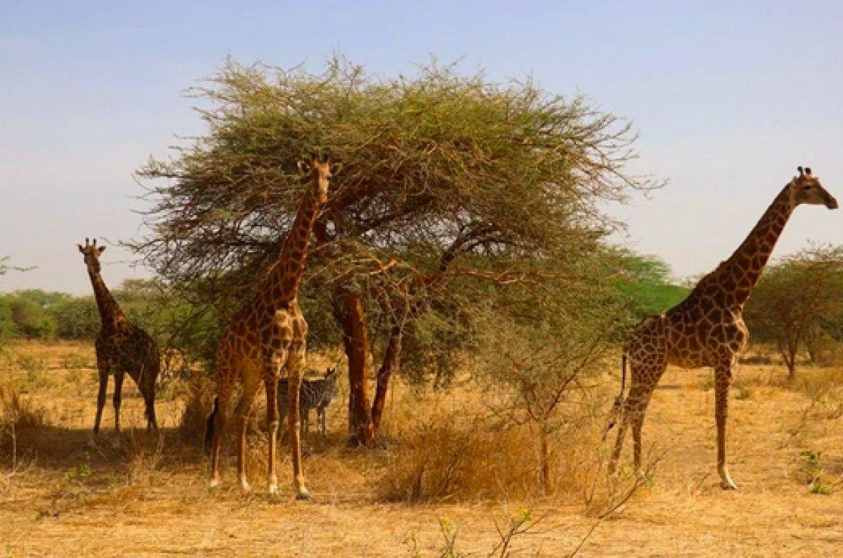 Senegal de açık alandaki aslanları yakından görebilmek için kafese giriyorlar #8