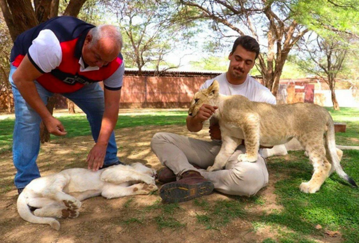 Senegal de açık alandaki aslanları yakından görebilmek için kafese giriyorlar #6
