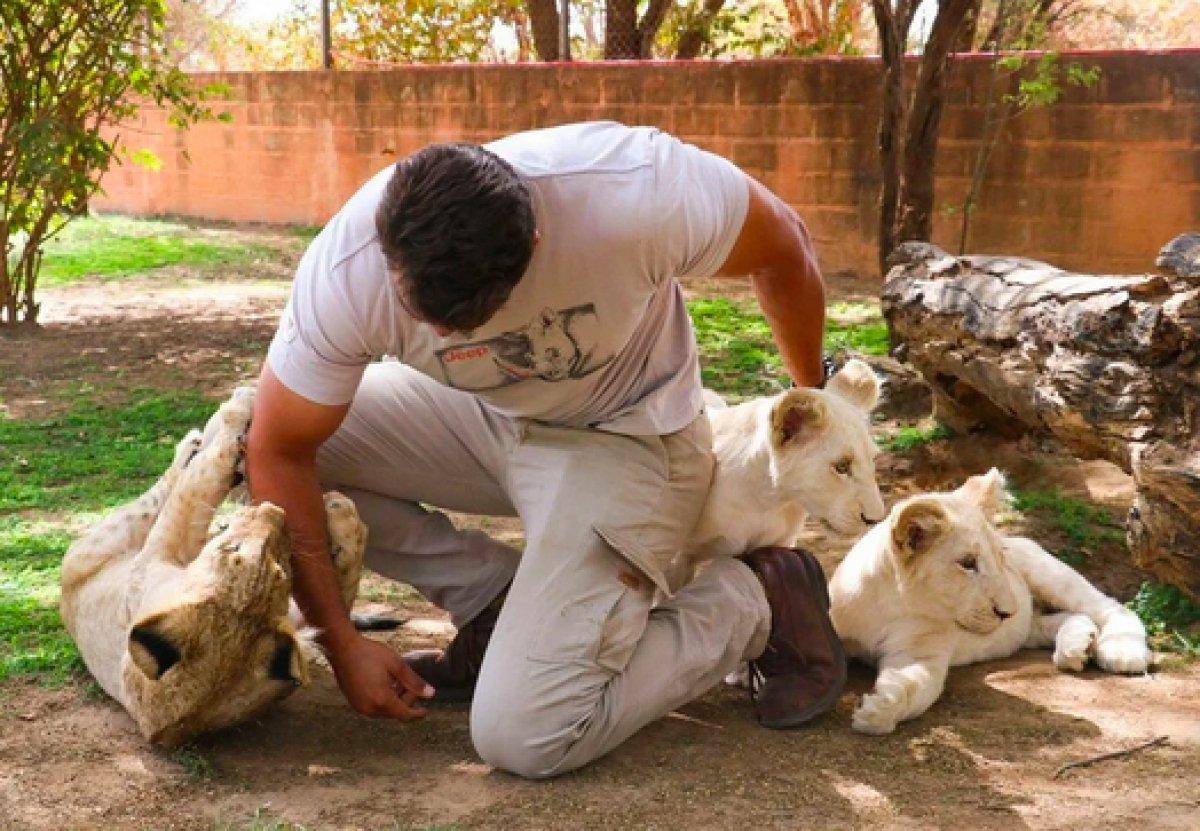 Senegal de açık alandaki aslanları yakından görebilmek için kafese giriyorlar #7
