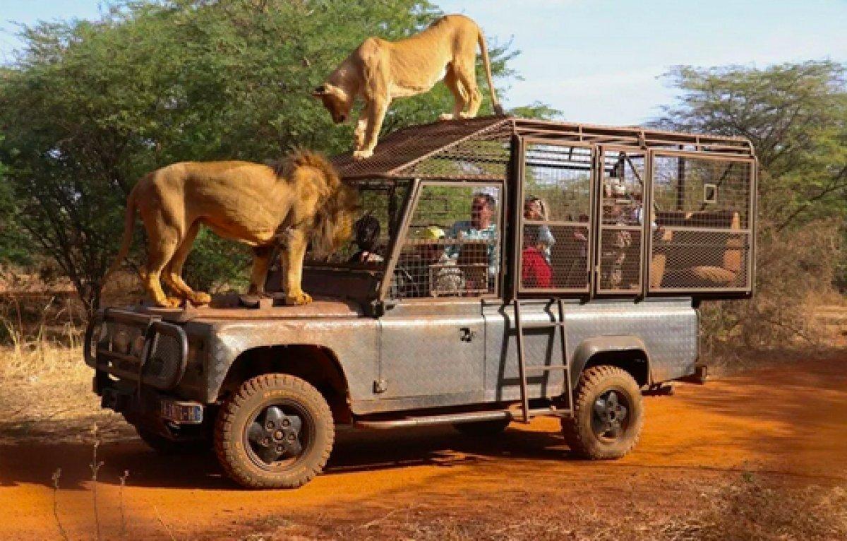 Senegal de açık alandaki aslanları yakından görebilmek için kafese giriyorlar #10