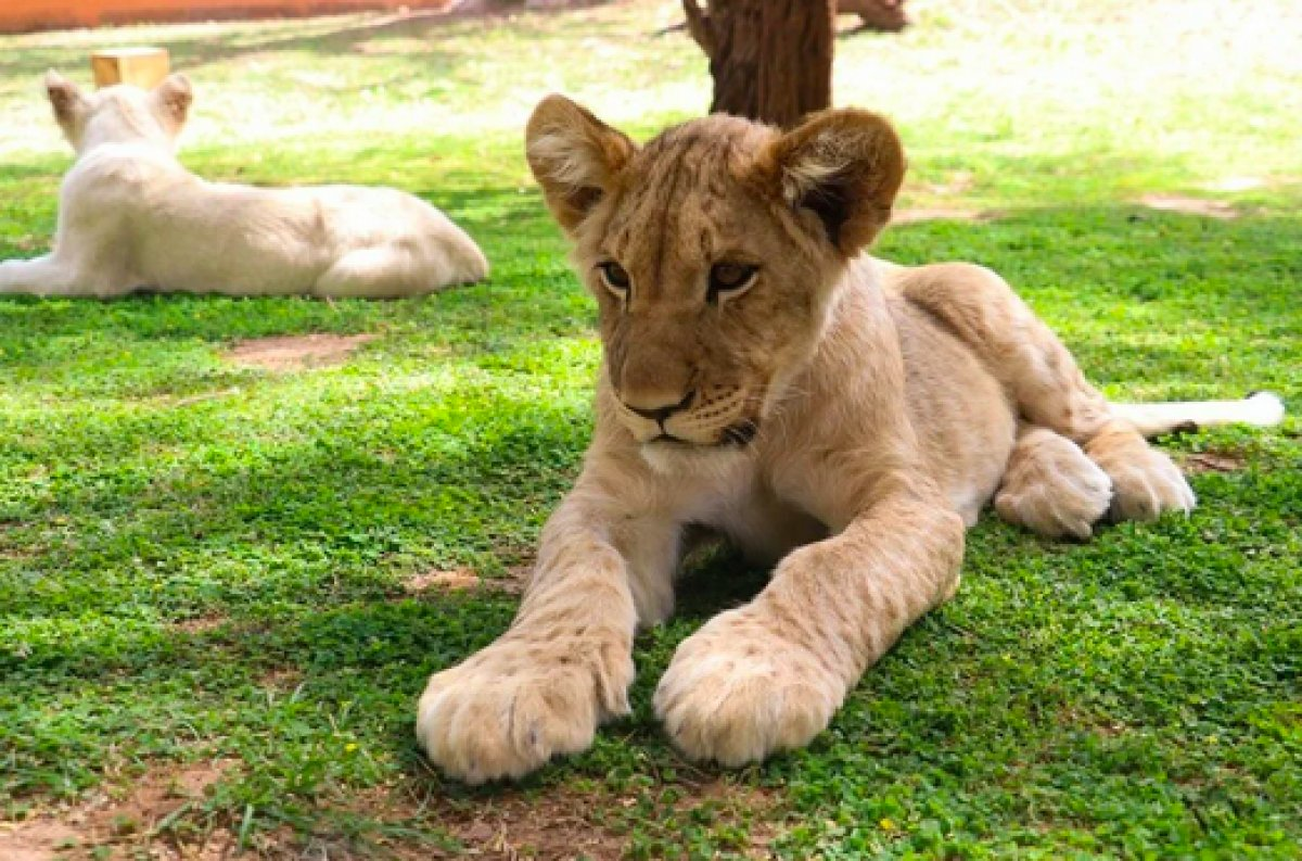 Senegal de açık alandaki aslanları yakından görebilmek için kafese giriyorlar #9
