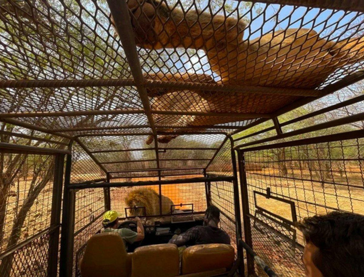 Senegal de açık alandaki aslanları yakından görebilmek için kafese giriyorlar #5
