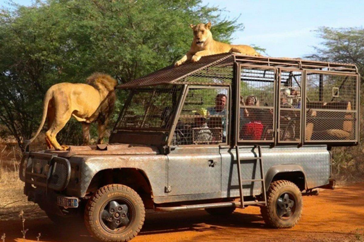 Senegal de açık alandaki aslanları yakından görebilmek için kafese giriyorlar #4