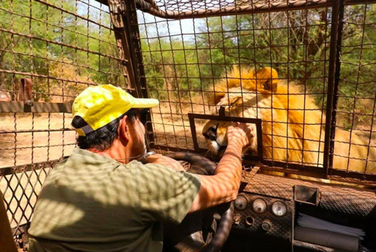 Senegal de açık alandaki aslanları yakından görebilmek için kafese giriyorlar #3