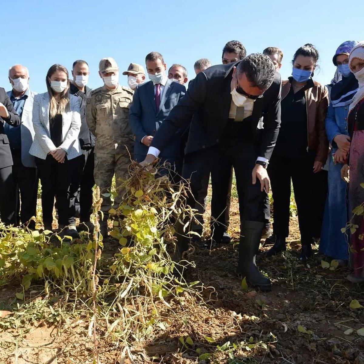 Erzurum'da İspir fasulyesinin hasadına başlandı #3