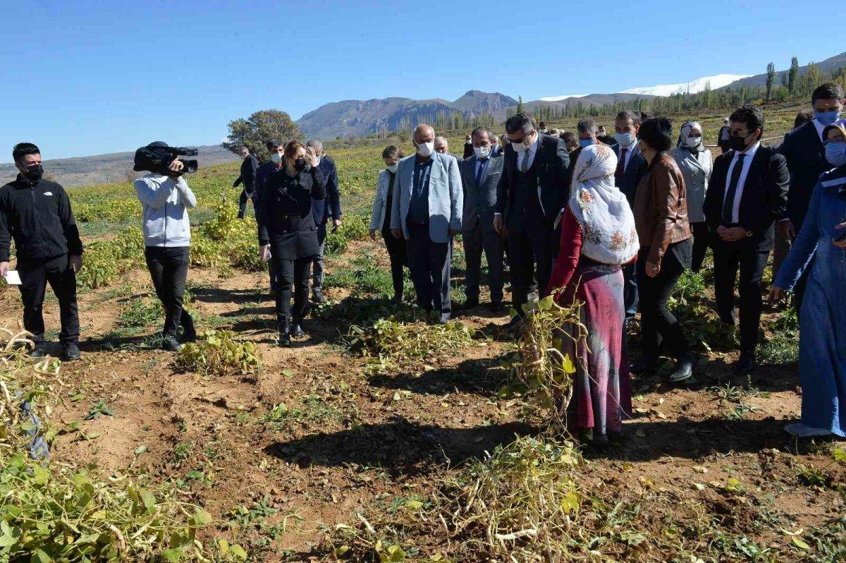 Erzurum'da İspir fasulyesinin hasadına başlandı #1