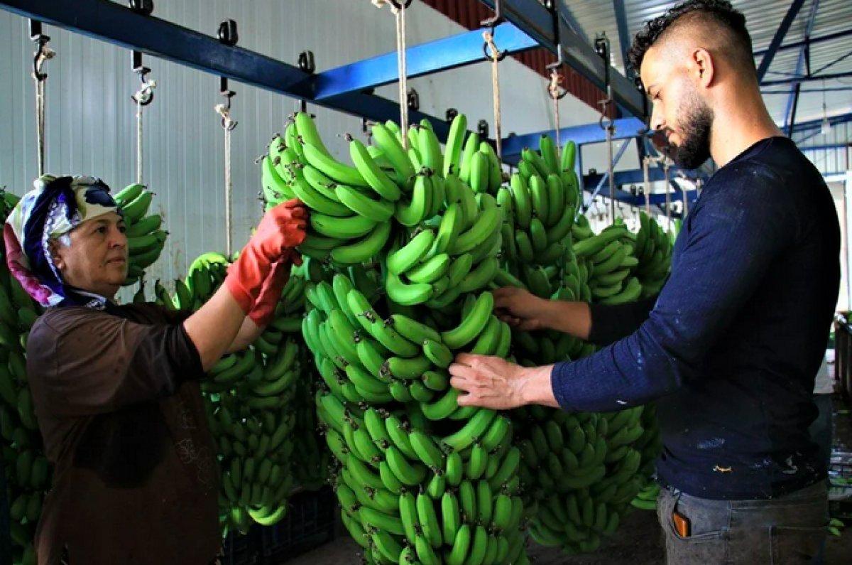 Mersinli muz üreticileri marketlerdeki fiyatlara tepkili #2
