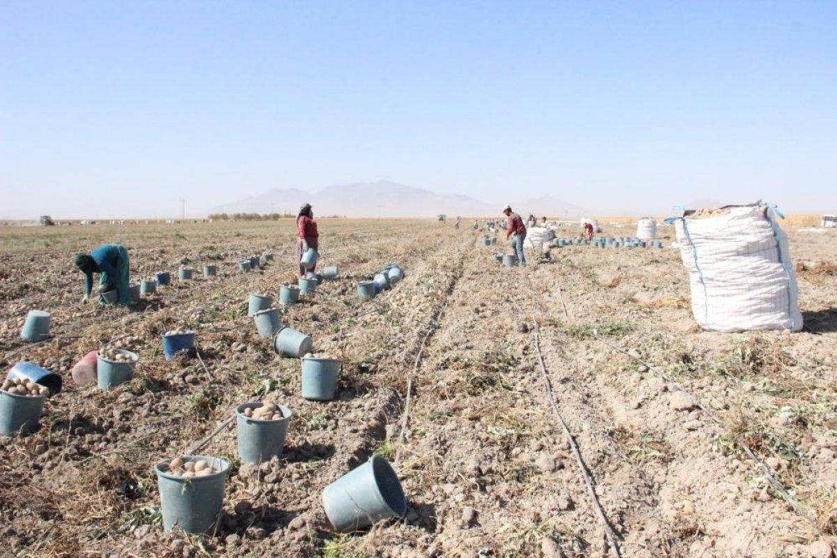 Karaman da çiftçiler patates hasadına kova atma töreni ile başladı #4