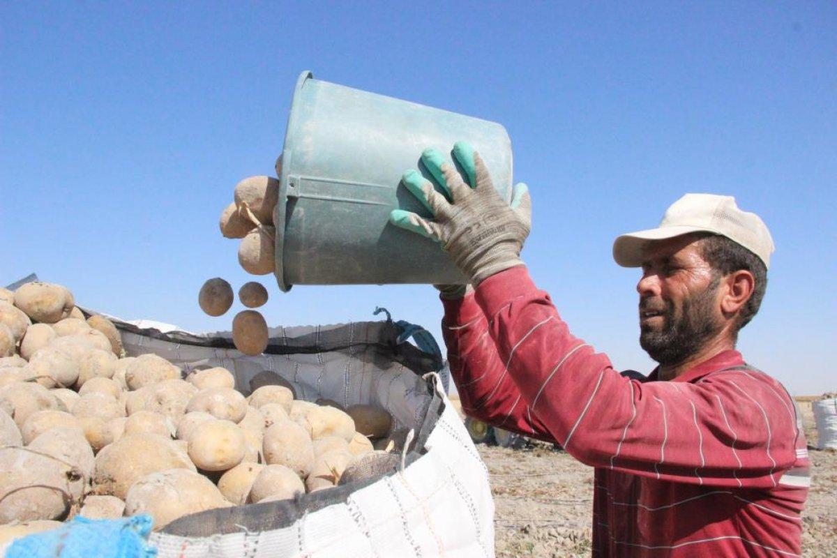 Karaman da çiftçiler patates hasadına kova atma töreni ile başladı #6